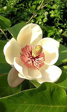 Magnolia is an ancient genus. Having evolved before bees appeared, the flowers developed to encourage pollination by beetles.