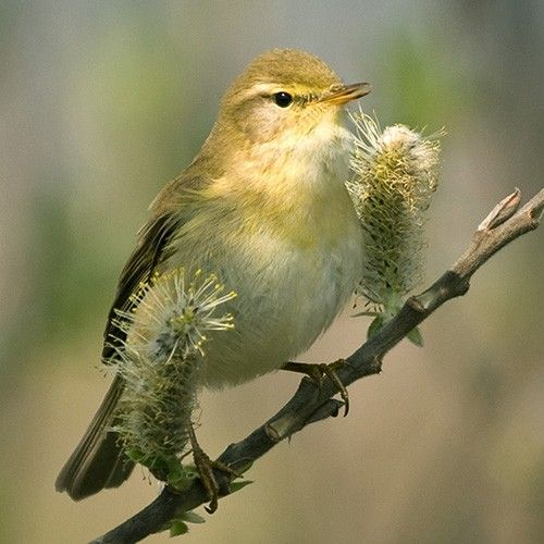 Willow Warbler | Willow Warbler (Phylloscopus trochilus)