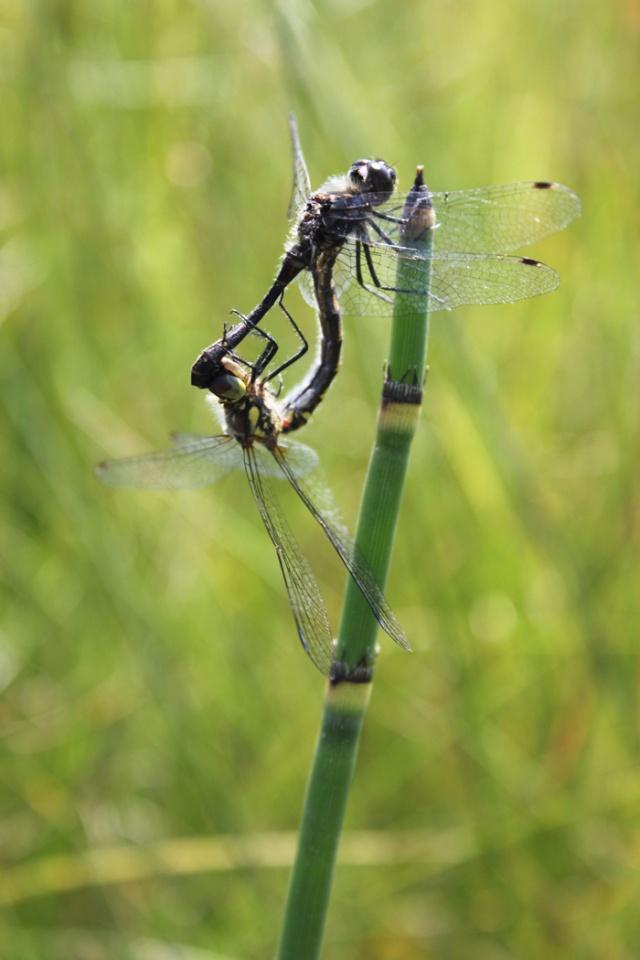 dragonflies  By Laura Kelsey - wordsmore.com