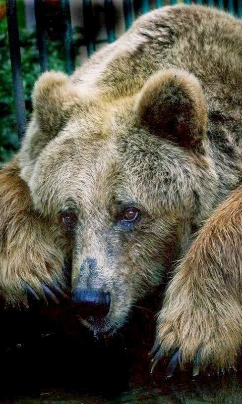 Grizzly Bear - Looks so sad because all his mates are in a cage,,,, for their bile.....
