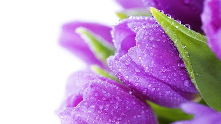 фиолетовые тюльпаны - Google Търсене