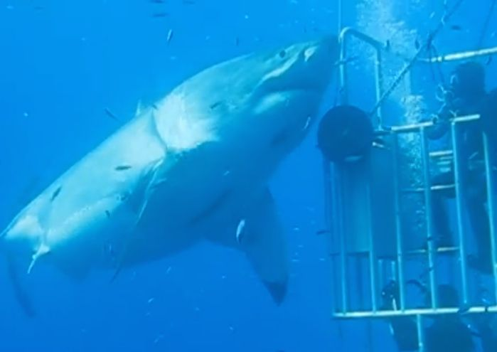 Researcher discovers clip showing a great white shark measuring 20-plus feet, and with the girth of a fat hippo, dwarfing cage divers at Guadalupe Island.