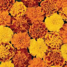 How to Grow Marigolds From Seed - Growing Marigolds Tagetes from Seed - West Coast Seeds