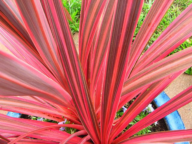 Dwarf New Zealand Flax (Phormium tenax), evergreen perennial, clumping to 6 ft. in height, deep burgundy, PLANT under tree fern