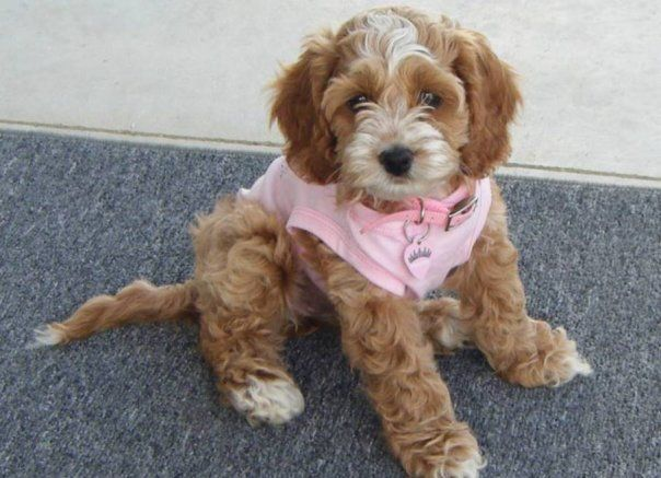 Dark Red Cockapoo Puppies for saleSouth of Albert Lea