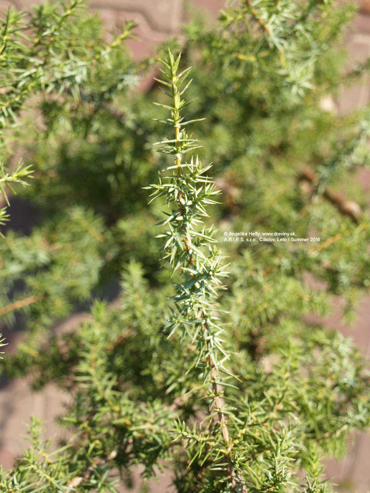 Borievka obyčajná | Juniperus communis - Záhradníctvo ABIES
