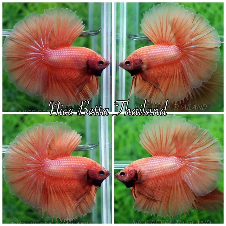1000 Images About Beautiful Betta S On Pinterest
