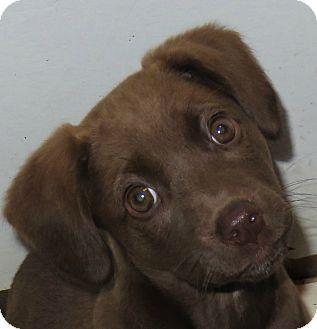 St Petersburg, FL - Labrador Retriever Mix. Meet Gia ~ Chocolate Lab Puppy, a puppy for adoption. http://www.adoptapet.com/pet/12122128-st-petersburg-florida-labrador-retriever-mix