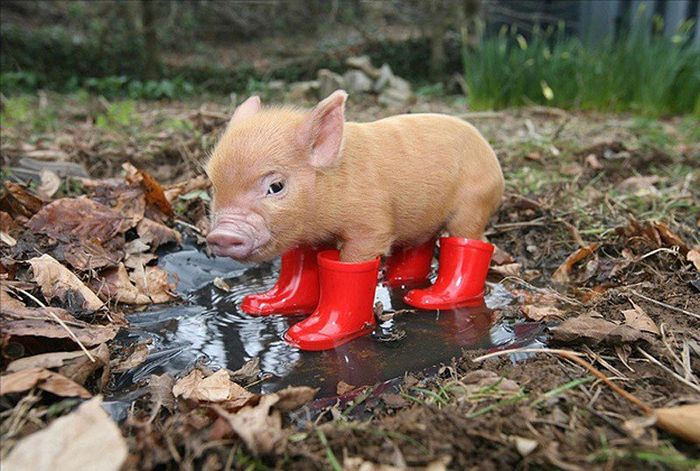 Mini Pig in Boots