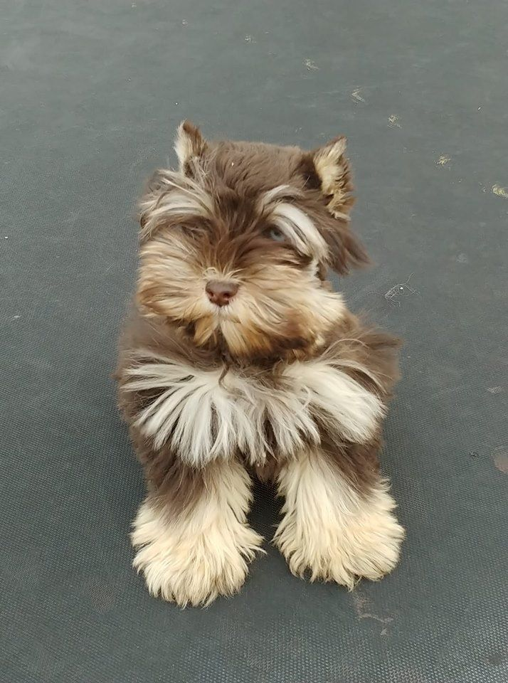 Pin By Andrea Maye On Love Dogs Miniature Schnauzer Puppies Cute Dogs And Puppies Schnauzer Puppy