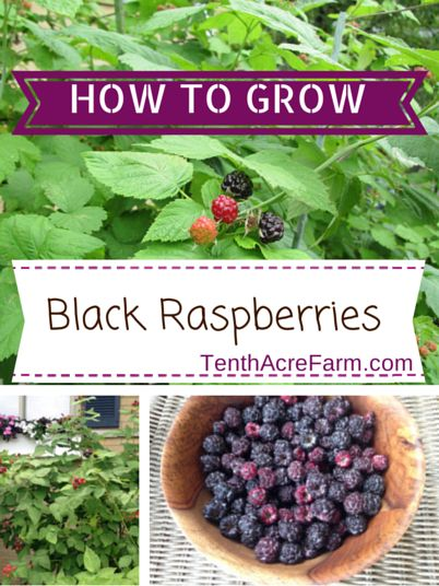 How to Grow Black Raspberries via Tenth Acre Farm