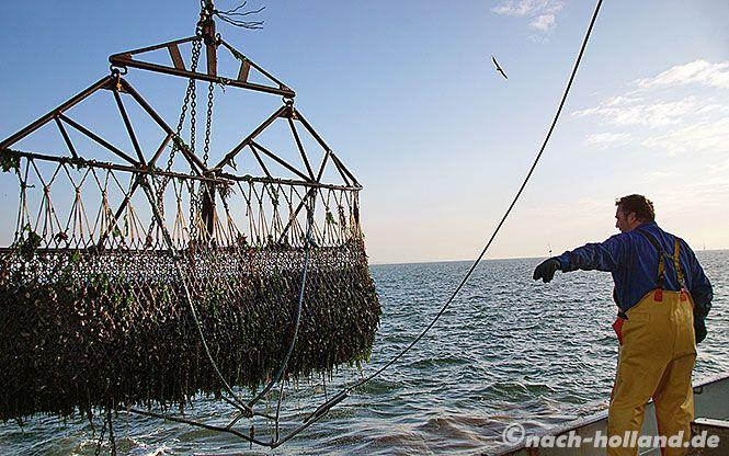 """Zeeland ist berühmt für seine Muscheln. Jeden Tag werden die """"Zeeuwse Mosselen"""" frisch aus dem Meer gefischt.  #zeeland #niederlande   #holland #muscheln #kulinarisch"""