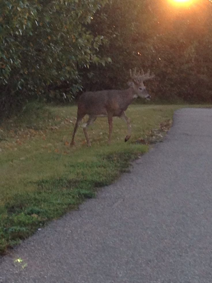 Meet this deer on one of my walks this summer, close to timberline drive ,2013