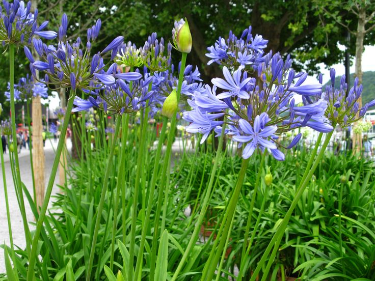 Lily of the Nile, African Lily (Agapanthus africanus)