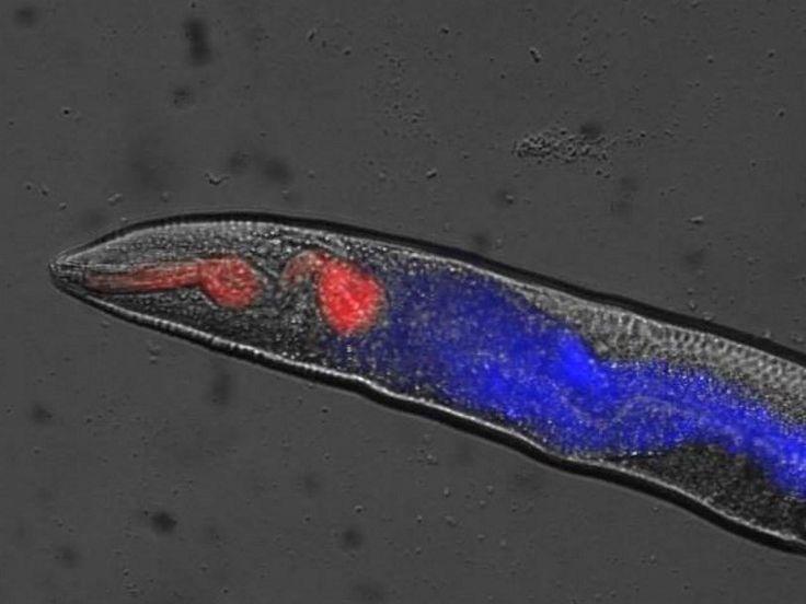 Круглые черви умирают как люди