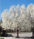 Cleveland Pear Tree - fast growing to 30-40'. No maintenance. Fall leaves turn from green to red, every spring blooms white. Perfect symmetrical oval shape