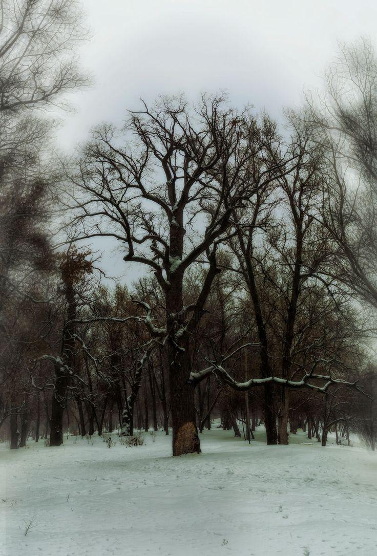 Oak in the floodplain of the Dnieper. Winter 2017. (Photography) by Юрий Бышев Oak in the floodplain of the Dnieper. Winter 2017.