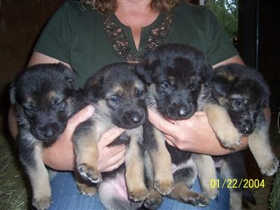 Purebred German Shepherd Puppies ready to go home Oct 20th . 6 Females left! Call Jackie 369-0164 for more information!