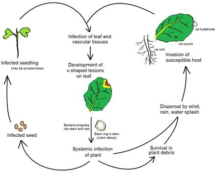 Life cycle of the black rot pathogen, Xanthomonas campestris pathovar campes