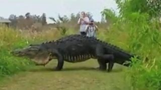 Watch Humongous Alligator Walk Slowly Past Visitors at Nature Center [VIDEO]