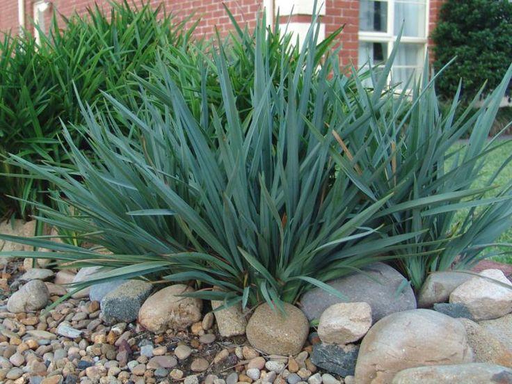 Dianella caerulea 'Cassia Blue' http://www.bluedale.com.au/our-selection/strapy-leaf-plants/cassa-blue-dianella-caerulea-dbb03