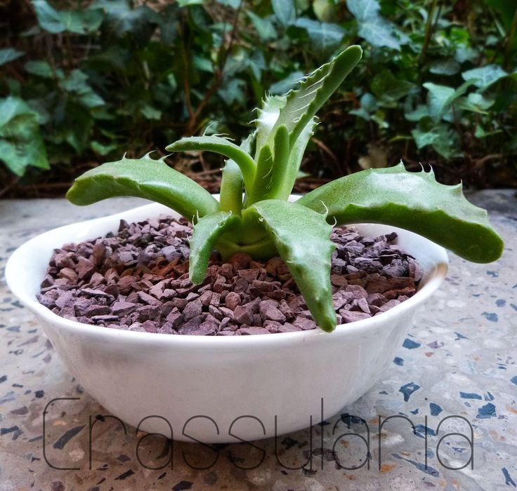 Suculenta Faucaria lupina (fauces de lobo). Esta hermosa plantita es originaria de Sudáfrica. Y es una de 30 especies. Cuando ya tiene dos años de crecida se puede apreciar en otoño sus flores amarillas de corta duración.  suculenta Boca de lobo  medidas: 13 x 5 cms. $8.000