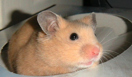 The Syrian hamster is one of the most adorable small pets that many American families love. These hamsters are also popularly known as Golden Hamsters or Teddy Bear Hamsters (the long-haired variety) and are likely the most popular hamster varieties kept as pets. Due to their docile nature, it is very easy to handle these wonderful pets. Even kids can easily handle these pets without any hassle. However, these animals are not as social as dogs or cats. After they reach the age of 4 to 5…