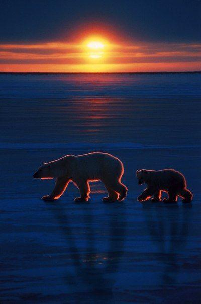 Polar Bears on the Alaskan Tundra at Sunset.