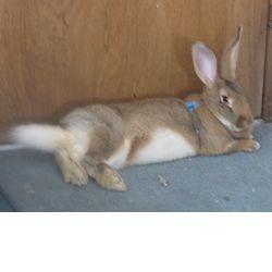 Flemish giant rabbit breed