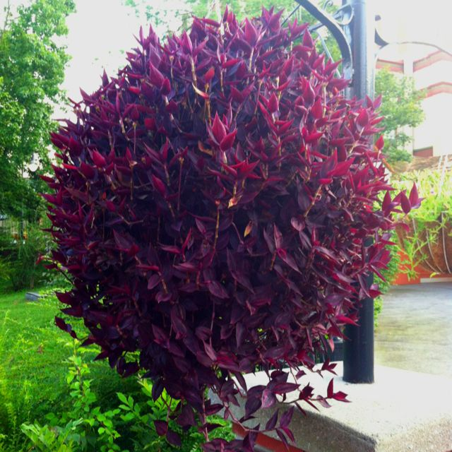 140 best images about houseplants with beautiful leaves on pinterest - Wandering jew care ...