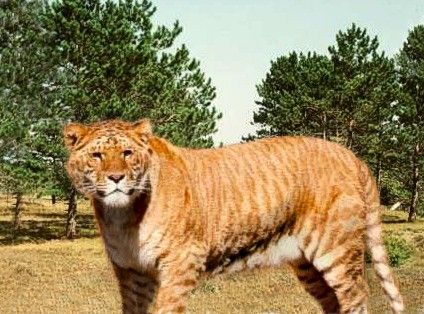 Liger, sterile hybrid, female tiger, male lion parents. Dear God! They exist!: Ligers, Abor Animal, Wild Cat, Big Cat, Parents, Female Lion, 19Th Century, Crosses Breads Animal, Mixed Breeds