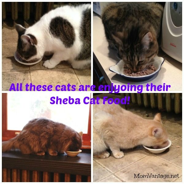My four kitties are LOVING their Sheba Cat Food!! :) #cbias #shop http://momvantage.net/keeping-my-cats-happy-and-healthy-shebacat/