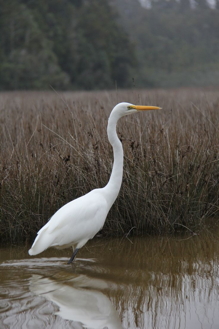Okarito Lagoon - White Heron