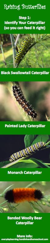 Identifying Caterpillars. Excellent list of Dos & Don'ts for raising caterpillars. Love the extra links to help make sure we actually hatch butterflies.