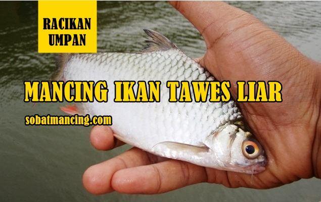 Racikan Umpan Ikan Tawes Liar Paling Jitu Dan Memuaskan Ikan Memancing Umpan Pancing