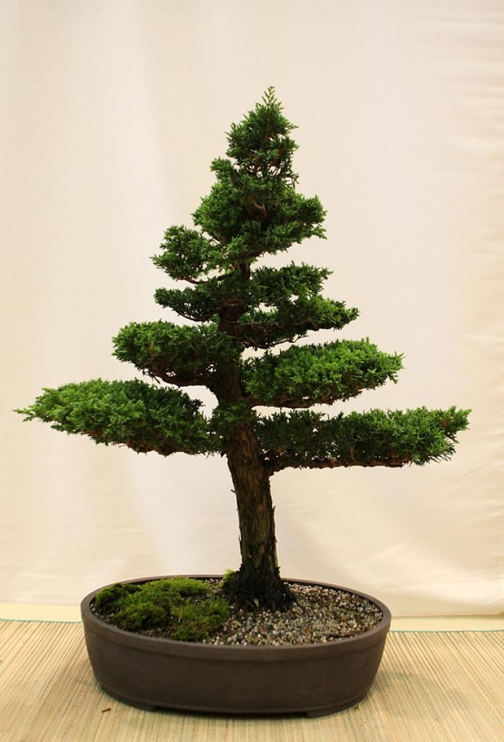 17 best images about bonsai trees on pinterest trees for Bonsai indoor