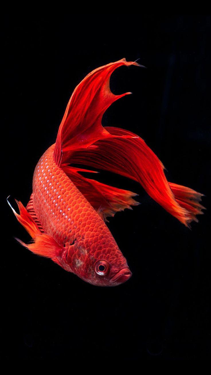 Iphone 7 Fish Wallpaper Hd Pin By Joey D On Betta Badasses Beta Fish Betta