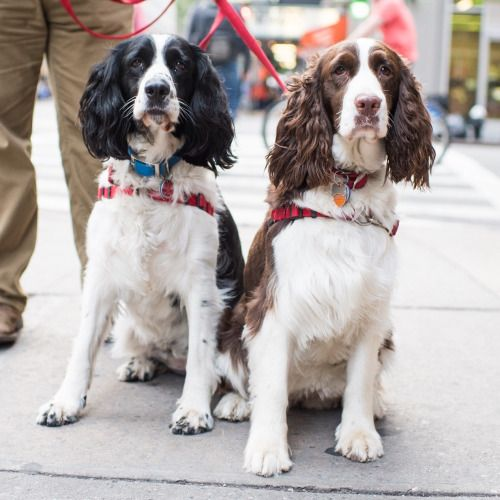 Jenny & Flora, English Springer Spaniels (4 & 2 y/o), 23rd & Lexington Ave, New York, NY