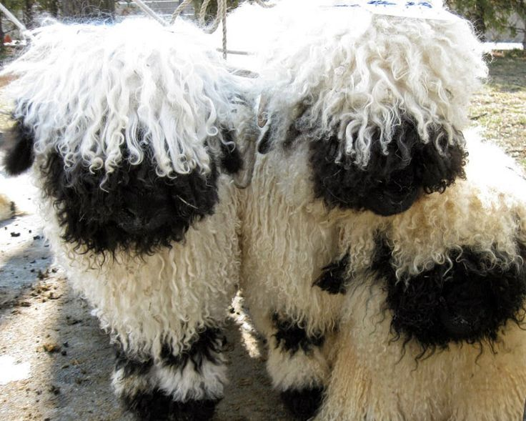 No...these are not stuffed toys...but real live Swiss Black-Nosed Valais Sheep - so cute!!