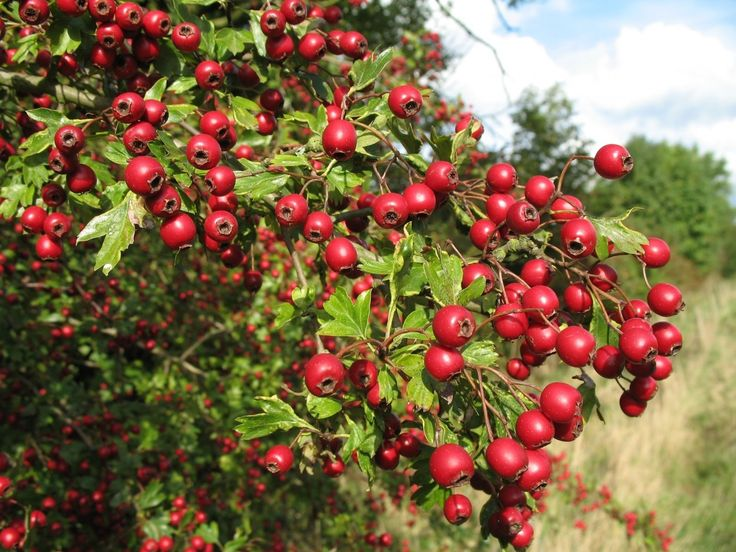 Wild Food and Recipes UK: Hawthorn Berry Chutney with Thyme – Recipes