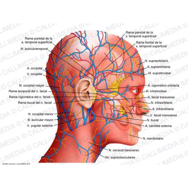 Best 8 Anatomia Cabeza y cuello images on Pinterest | Buscando ...