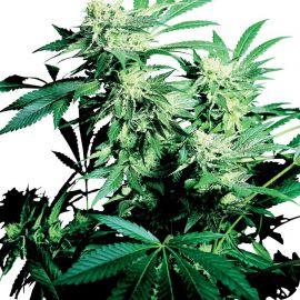Skunk Kush - strain - Sensi Seeds | Cannapedia