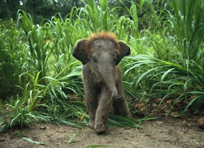 Look at this baby elephant's head- he's growing a full head of red hair!