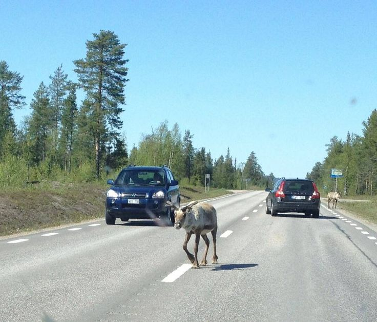 Watch out for the reindeer! They have absolutely no fear for vehicles on the roads.