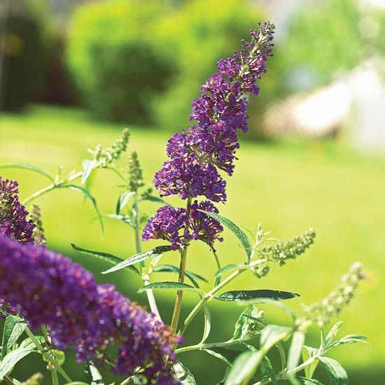 The Butterfly Bush can grow to 10 feet or taller and bloom longer than lilacs, making them a perfect summer-blooming shrub. Click through to see and read about 12 other summer-blooming shrubs from BHG.
