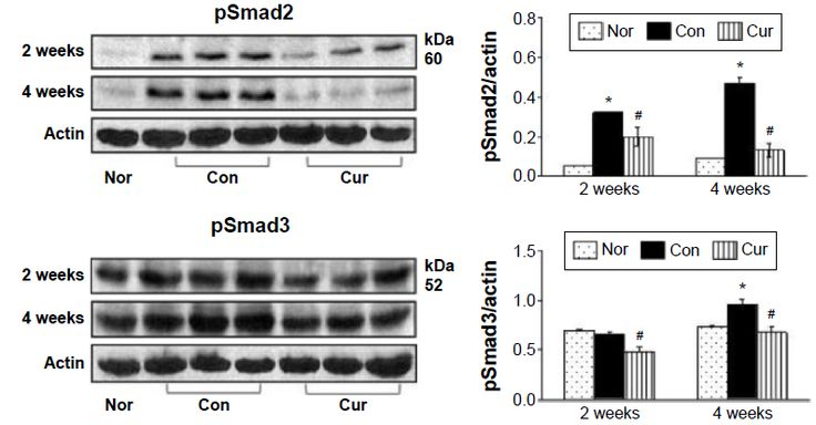 Figure 6 Phosphorylation of Smad2/3 during Ang II infusion.