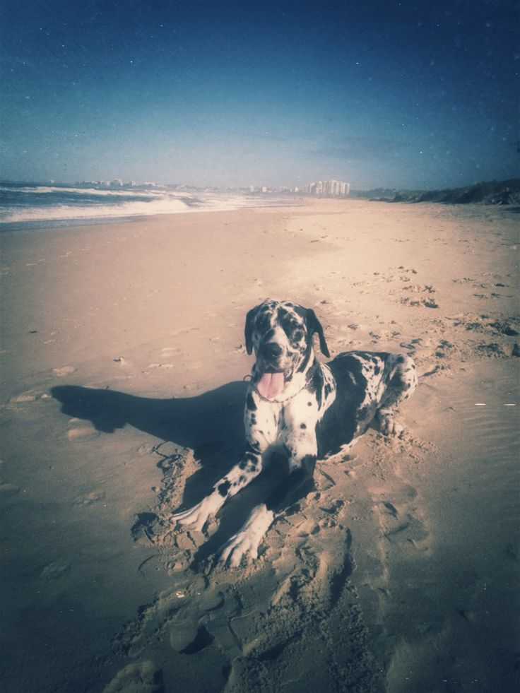 "Great Dane ""BIZZY"" @north shore beach #harlequin"
