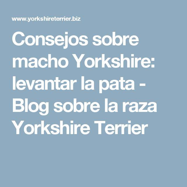 Consejos sobre macho Yorkshire: levantar la pata - Blog sobre la raza Yorkshire Terrier