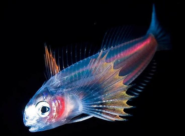 The stunning pictures, taken off the coast of Hawaii, were taken in the dead of night with a special flash to give a wonderful display of colours. Among the 'colour x-ray' style images are pictures of rare squids, jellyfish and