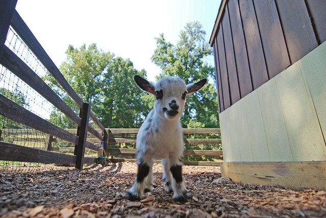 Tanglewood Farm, A Farm Dedicated to Miniature Animals (in Georgia)